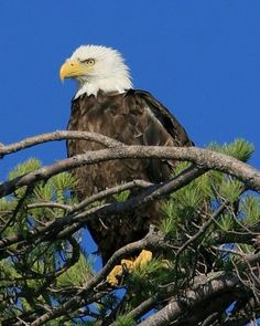 Bald Eagle By Missie Peterson