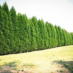 Row Of Leyland Cypress Trees, fast growing privacy tree