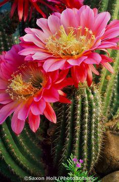 / Lot Beautiful Rare flower seeds cactus Succulent seeds kaktus lithops hybrid bonsai plants for home garden Desert Flowers, Desert Plants, Exotic Flowers, Amazing Flowers, Beautiful Flowers, Flowers Nature, Cacti And Succulents, Planting Succulents, Cactus Plants