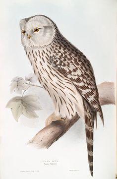 Ural Owl. Surnia Uralensis.