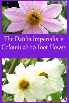 An impressive flower in Colombia grown only in high altitudes