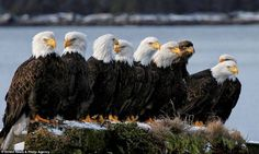 White Wolf : Virginia's bald eagles thriving at a never before seen level after pesticides ban. Eagle Pictures, Cool Pictures, Cool Photos, Hilarious Pictures, Funny Images, Funny Photos, Beautiful Birds, Animals Beautiful, Cute Animals