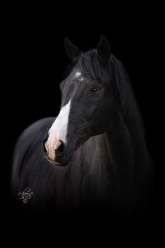 Hermes - Black Series (C) Contacteer ons voor een portret van UW paard! - E-horse Equine Photography - www.e-horse.be