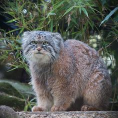 Pallas's cat (Otocolobus manul) by Jar0d, wikipedia: Also known as the manul, this small wild cat, about the size of the domestic cat, is native to the steppe regions of Central Asia where it lives at elevations up to 5.050m in the Tibetan Plateau. #Cat #Manul