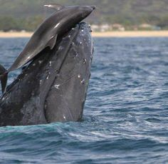 Dolphin and Whale playing together.