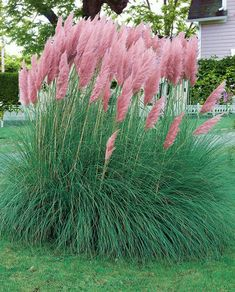Pampas Flowers Cortaderia Selloana Grass Seeds for home garden Flowers Perennials, Planting Flowers, Shade Perennials, Shade Plants, Full Sun Plants, Hydrangea Care, Grass Seed, Pink Feathers, Ornamental Plants