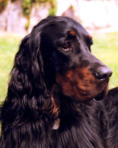 Gordon Setter Head | Flickr - Photo Sharing!