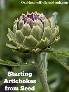 Hmm... artichokes. Are they worth the work and danger in cleaning them for eating?