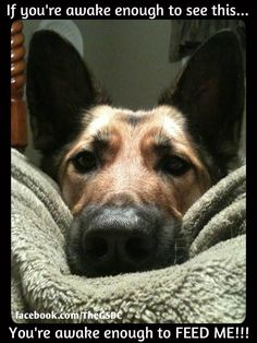 FEED ME!I don't need an alarm clock.I have a german shepherd. All Dogs, I Love Dogs, Best Dogs, Cute Puppies, Cute Dogs, Dogs And Puppies, Doggies, Animals And Pets, Funny Animals