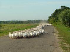 Endless flock of geese