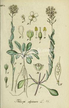 thlaspi alpinum      ...