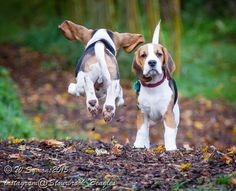 Are you interested in a Beagle? Well, the Beagle is one of the few popular dogs that will adapt much faster to any home. Whether you have a large family, p Cute Beagles, Cute Puppies, Cute Dogs, Dogs And Puppies, Doggies, Bulldog Breeds, Beagle Puppy, Puppy Eyes, Hound Dog