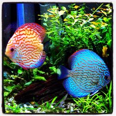 Discus, checkerboard pigeon, red turquoise, planted aquarium