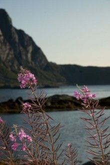 Inspired by Norway: flowers in Svolvaer Beautiful Norway, Norway Travel, Lofoten, North America, Inspired, Flowers, Plants, Life, Plant