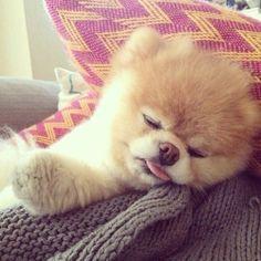 Pomeranian is KO'd lol sleeping #cute #fluffy