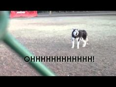 Husky Throws World's Most Adorable Tantrum About Having To Leave The Dog Park