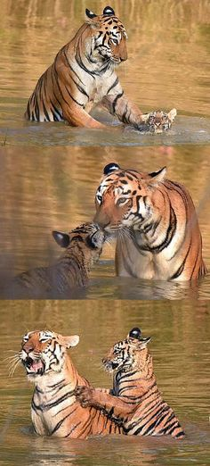 mother tiger is extremely patient trying to teach her cub about bath time.This mother tiger is extremely patient trying to teach her cub about bath time. Animals And Pets, Baby Animals, Funny Animals, Cute Animals, Big Cats, Cool Cats, Cats And Kittens, Beautiful Cats, Animals Beautiful