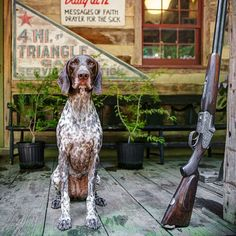 """Celebrating """"Southern Porch Dogs"""" from Nell Dickerson's new book: Memphis, a Deutsch Kurzhaar, in Bingham, Tennessee. Short Haired Pointer, Southern Porches, Southern Homes, Southern Charm, Southern Living, Southern Style, Dog Garden, Pointer Dog, Pointer Puppies"""