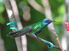 beija-flor-violeta_colibri coruscans_Brazilian Birds