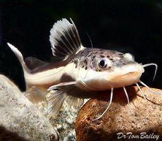 Redtail Catfish, Featured item. #redtail #catfish #scavenger #fish #petfish #aquarium #aquariums #freshwater #freshwaterfish #fishofinstagram #featureditem