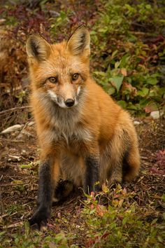 Baby Fox by Martin Ouellet*