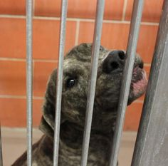 ZEUS is a male brindle and white pitbull mix. He came into the shelter as a stray. he was such a lover and all he wanted was to be pet. Please come evaluate him.  https://www.facebook.com/photo.php?fbid=342887085807642=a.226895917406760.48995.226541667442185=1