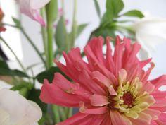 Zinnia elegans 'Cactus Flower Blend' (Botanical Interests) PbmGarden