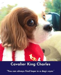 Simply click the link to read more about Cavalier King Charles #cavs Please click here to read more...