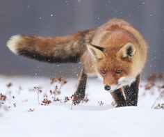 Red Fox by Richard Kubica Fantastic Fox, Fabulous Fox, Most Beautiful Animals, Beautiful Creatures, Animals And Pets, Cute Animals, Pet Fox, The Fox And The Hound, Fox Art