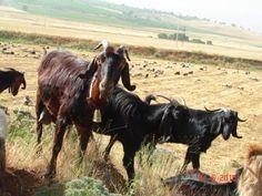 Kilis Keçisi | Yem Bitkileri, Çim Tohumu, Halep Keçileri