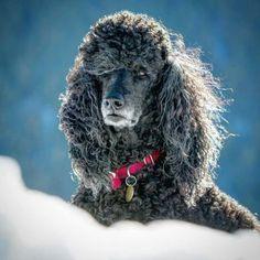 HRH CHLOE Standard Poodles, Yorkie, Doggies, Fur Babies, Beautiful, Dog, Funny, Little Puppies, Yorkies