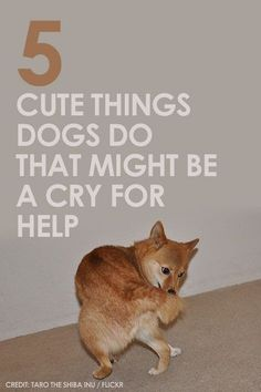 """5 Cute Things Dogs Do That Actually Might Be a Cry for Help - some mannerisms we've come to see as """"cute"""" are actually a sign of health problems. Pet Dogs, Dogs And Puppies, Doggies, Chihuahua Dogs, Chihuahuas, Dog Training, Training Tips, Cat Crying, Dog Information"""