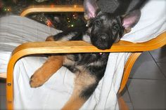 14 week old puppy needs to grow into her ears... LOL - What a treasure!