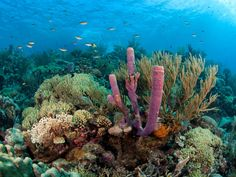 Coral Reefs in the Caribbean | The Caribbean has lost 60 per cent of its coral reef over the last 30 ...