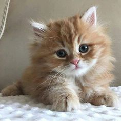 Beautiful fuzzy Orange kitten