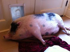 My cousin Piggy Smalls.  Do not say anything about her weight.  She's on a diet!