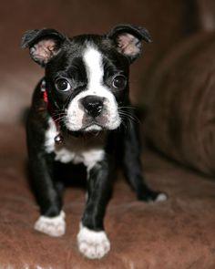 Cute Boston Terrier Puppy!