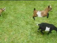 Buttermilk the leapfrogging goat.  Too.  Freakin.  Cute.