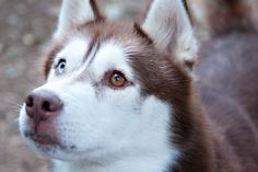 Red huskies are my loves.