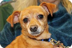 Inglewood, CA - Chihuahua/Terrier (Unknown Type, Small) Mix. Meet Chanel, a dog for adoption. http://www.adoptapet.com/pet/12073281-inglewood-california-chihuahua-mix