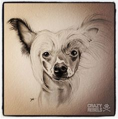 Chinese Crested cutie! Pretty fly for a little guy. #chinesecrested #dogportrait #crazyrebels #dog #illustration