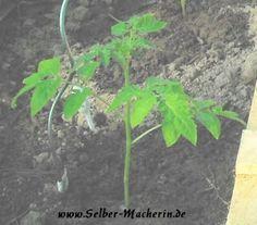 Selber-Macherin: Tomaten selber züchten Teil 3: Richtig einpflanzen  Hallo ihr!  Wahrscheinlich habt ihr alle eure Tomaten inzwischen schon raus gepflanzt?!? Der Vollständigkeit halber kommt hier jetzt endlich trotzdem der 3. Teil meiner Tomatenreihe. Wachsen eure auch so langsam im Moment? Wenn euch der Beitrag gefällt dürft ihr den Link natürlich gerne weiter pinnen!  #Tomaten #pflanzen #Selbstversorgung #Garten #Gemüse #anbauen #Video #Tutorial