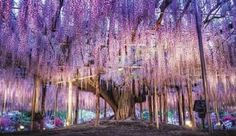 【F】あしかがフラワーパークの藤の花。満開の時期に行ってみたい。