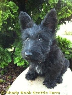 Scottish Terrier Puppies-reminds me of my little Jasper