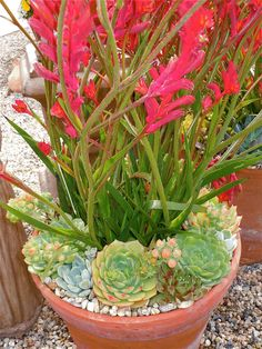 Kangaroo Paws w/ succulents