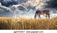Stock Images - Horse grazing in field.
