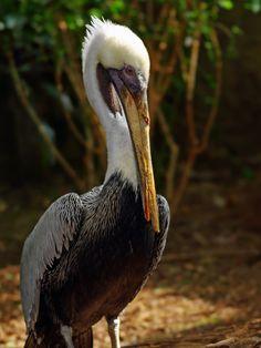 https://flic.kr/p/DNUXEk | Brown Pelican: Enjoying the sun | Brown Pelican. National Aviary, Pittsburgh (Feb 21, 2016)