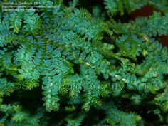 Peacock Spikemoss (Salaginella uncinata) - it's difficult to see the iridescent beauty of this plant. You see the golden version of it in  the grocery stores at Christmas now and it's pretty, but I love the blue one.