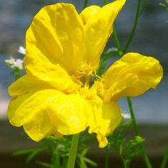 Fleur comestible de mon jardin de campagne