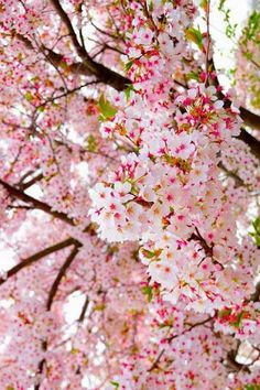 Cherry blossoms <3